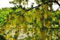 Картинка green, tree, plant, green fruits, yellow