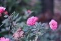 Картинка розы, куст, лепестки, цветы