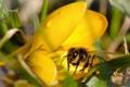 Картинка цветок, капли, макро, жёлтый, пчела, пыльца, крокус
