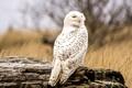 Картинка сова, перья, белая, смотрит