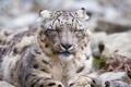 Картинка кошка, морда, ирбис, снежный барс