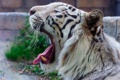 Картинка морда, хищник, пасть, профиль, белый тигр, дикая кошка, зевает