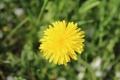Картинка цветок, жёлтый, одуванчик, со стеблем
