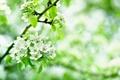 Картинка листья, цветы, ветки, яблоня