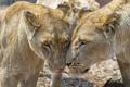 Картинка кошка, морда, пара, львица, ©Tambako The Jaguar