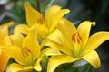 Картинка цветы, лилия, ветка, желтая