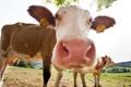 Картинка лето, природа, коровы