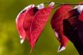 Картинка листья, цвета, свет, красный, растение, ветка, контраст