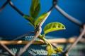 Картинка растение, листья, сетка, рабица, природа