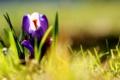 Картинка трава, цветы, фиолетовые, крокусы