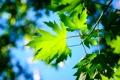 Картинка листья, небо, макро, клен