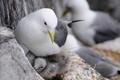 Картинка птица, чайка, гнездо, птенцы