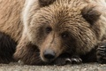 Картинка галька, бурый медведь, камушки, портет