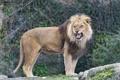 Картинка кошка, лев, грива, клыки, ©Tambako The Jaguar