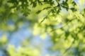 Картинка листья, веточка, размытость, боке, дуб