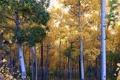 Картинка осень, лес, листья, деревья, роща, осина