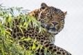 Картинка кошка, взгляд, морда, ветка, леопард, ©Tambako The Jaguar