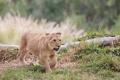 Картинка лев, малыш, травка