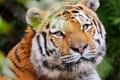 Картинка усы, взгляд, морда, тигр, довольный