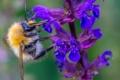 Картинка природа, насекомое, растение, шмель, цветок