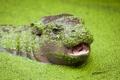 Картинка природа, фон, Pygmy hippopotamus
