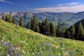 Картинка цветы, ели, луг, Юта, Utah, хребет Уосатч, Wasatch Range