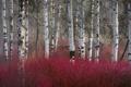 Картинка березы, лес, осень