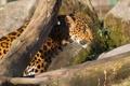 Картинка кошка, солнце, леопард, профиль, бревно