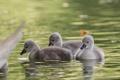 Картинка вода, лебеди, птенцы