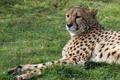 Картинка гепард, отдых, трава, кошка