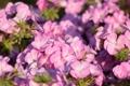Картинка нежность, лепестки, цветение, цветки, герань