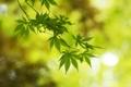 Картинка листья, блики, ветка, зеленые, клен