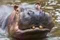 Картинка animals, Tanzania, Hippopotamus