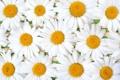 Картинка лето, ромашки, лепестки