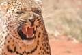Картинка морда, злость, хищник, ярость, пасть, леопард, клыки