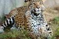 Картинка хищники, ягуар, котёнок, материнство, детёныш ягуара