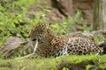 Картинка отдых, хищник, ягуар