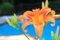Картинка макро, лилия, бассейн, лепестки