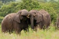 Картинка парочка, Tanzania, африканский слон, Tarangire National Park