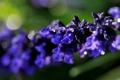 Картинка цветок, фиолетовый, макро, фон, ветка