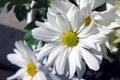 Картинка цветы, природа, ромашки, тень, лепестки