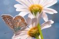 Картинка лето, цветы, бабочка, ромашки, насекомое