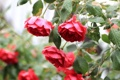 Картинка цветы, розы, куст