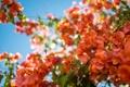 Картинка листья, оранжевые, Бугенвиллея