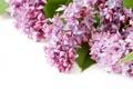 Картинка цветы, весна, flowers, сирень, spring, lilac
