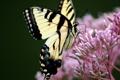 Картинка природа, бабочка, махаон