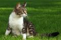 Картинка белый, трава, кот, серый, сидит