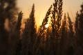 Картинка солнце, макро, свет, закат, Природа, колосья