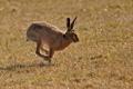 Картинка трава, поляна, заяц, скачет, русак