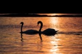 Картинка ночь, озеро, лебеди